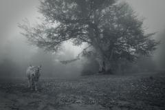 Cow_Dreams_1600
